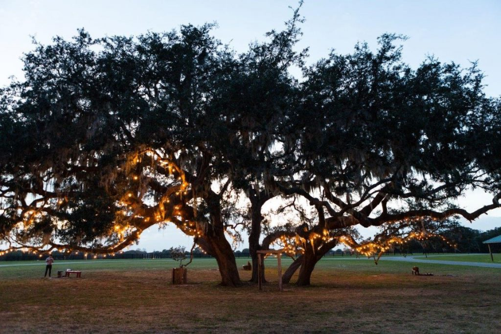 The-Villages-Polo-Club-Large oak trees at dusk with sun peaking through