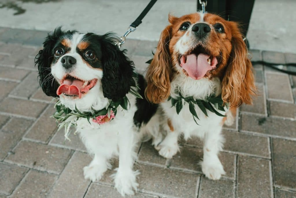 FairyTail Pet Care - two Cocker Spaniels with greenery collars