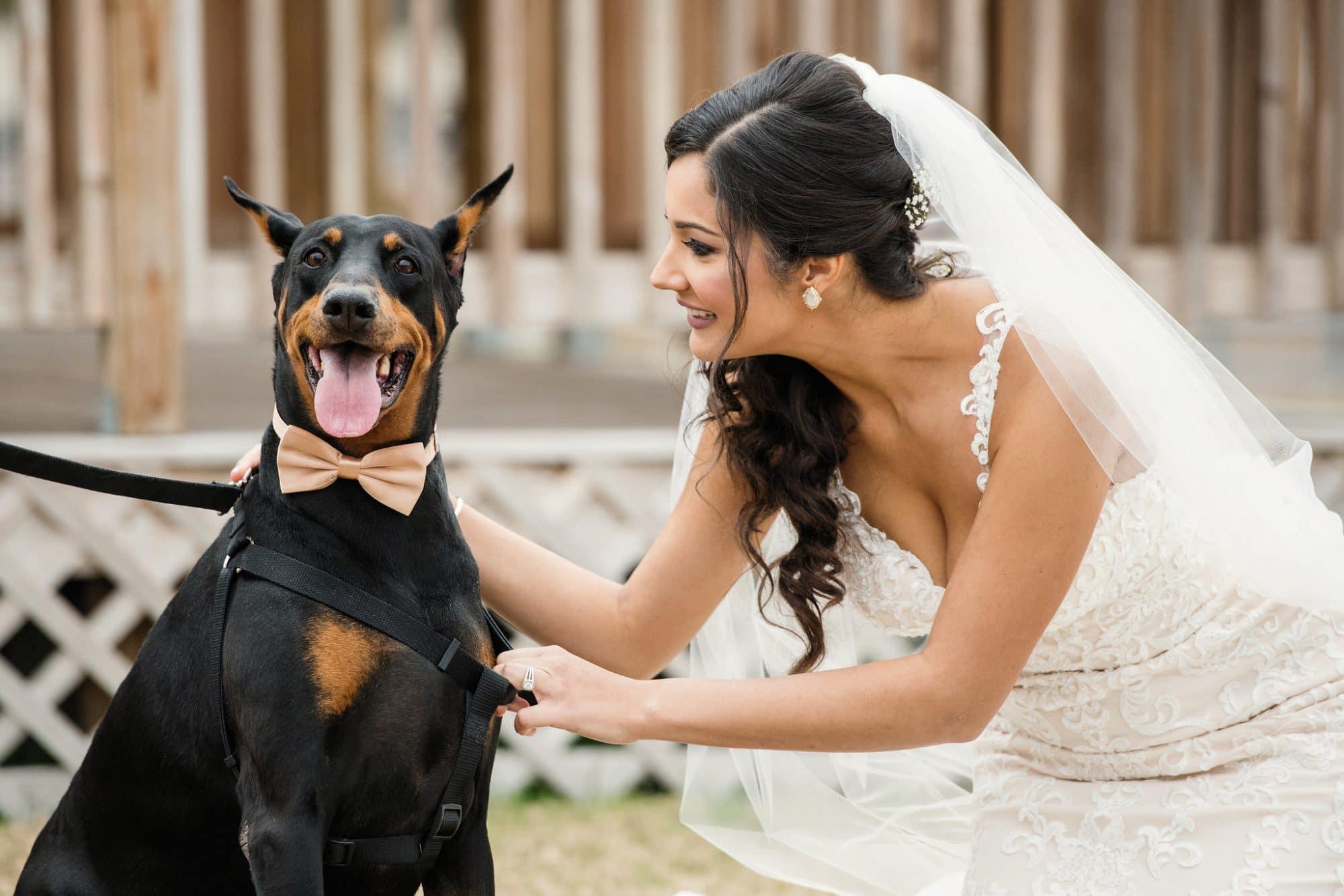bride petting doberman