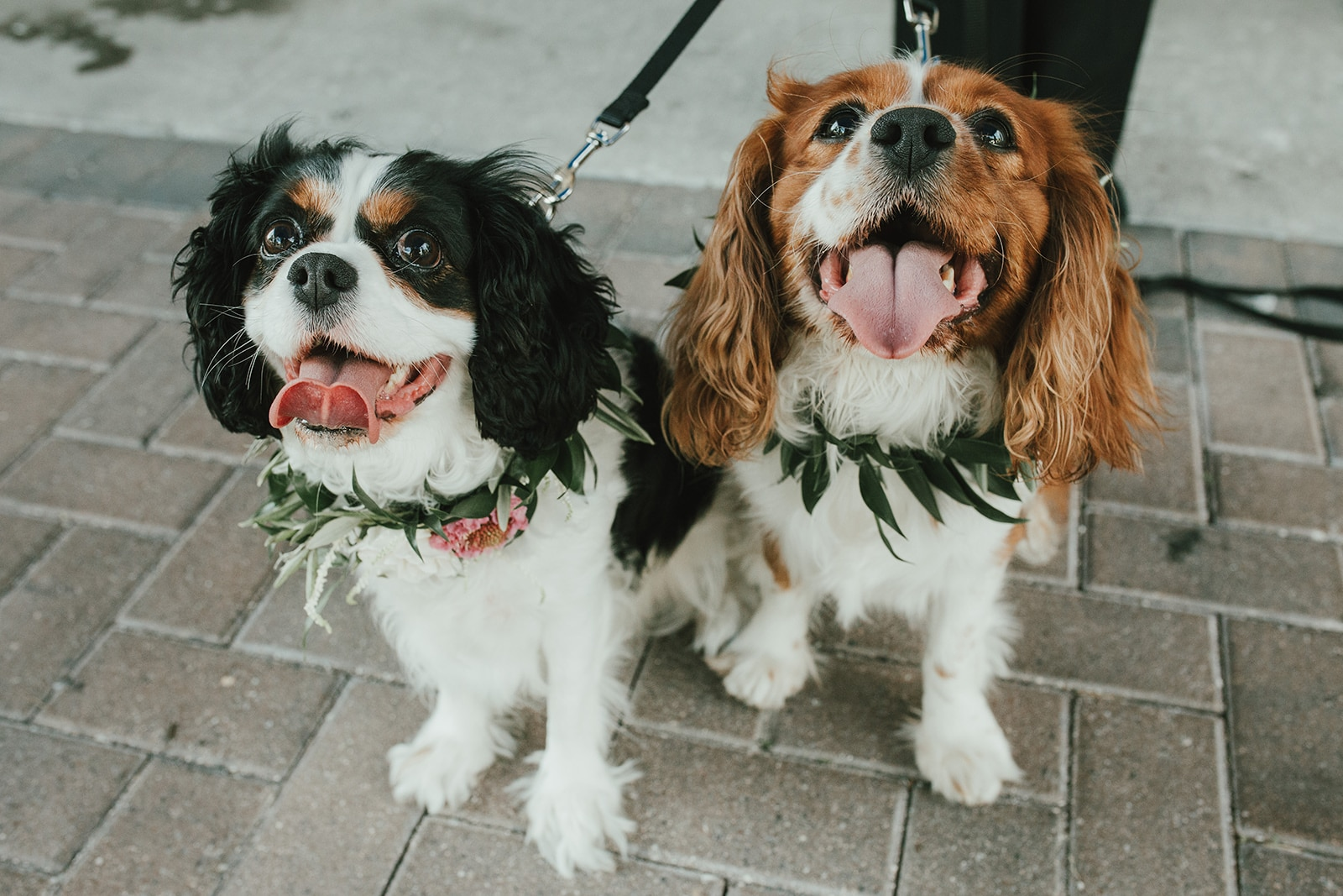 FairyTail Pet Care - dashing cocker spaniels with floral collars