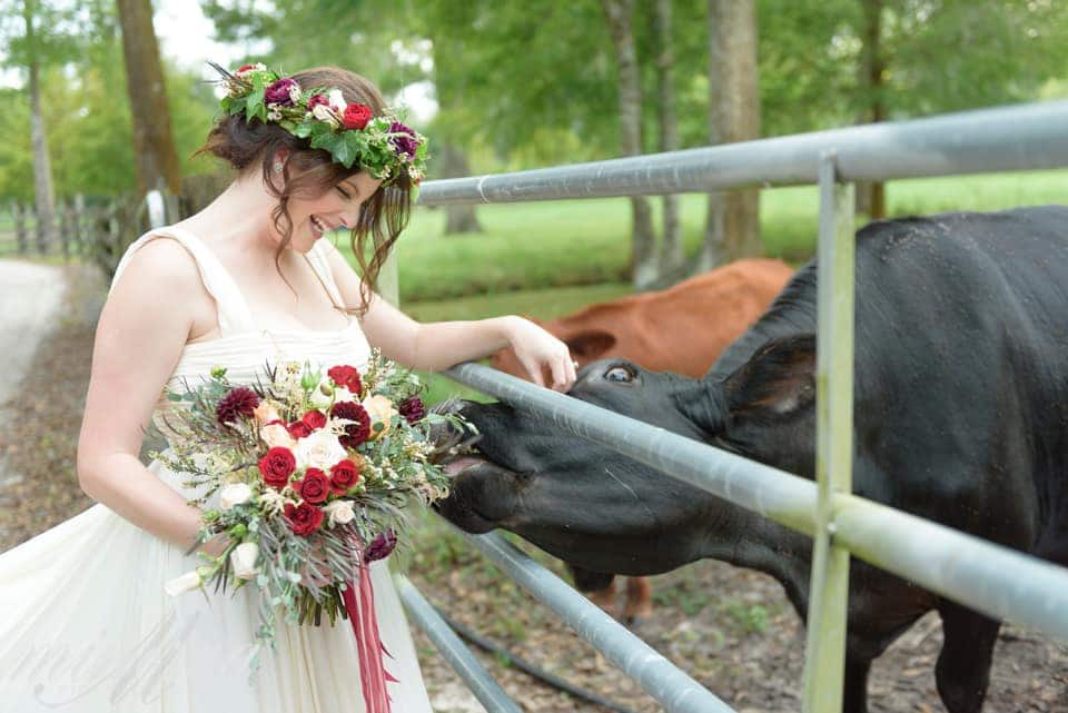 bride petting cow through fence who is trying to eat her bouquet